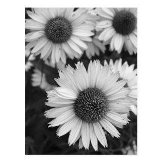 Carte Postale Fleurs de cône - marguerite - en noir et blanc