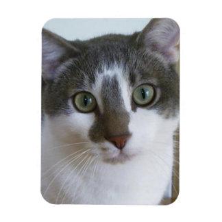 Chat gris et blanc beau magnets