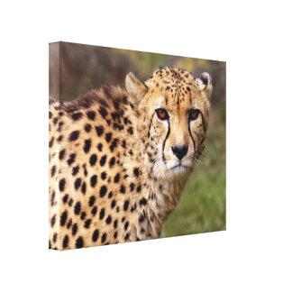 Cheetah wickelte Leinwand-Druck ein Leinwanddruck