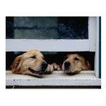 Chiens regardant une fenêtre carte postale
