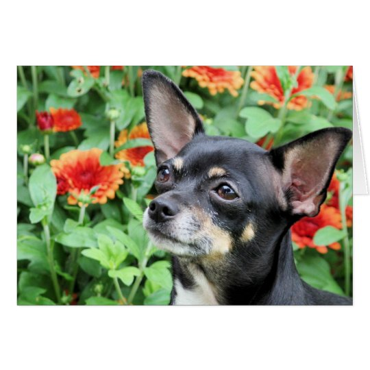 Chihuahua - Isabella - Foto 41 Grußkarte