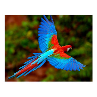 Colorful Scarlet Macaw in flight Postkarte