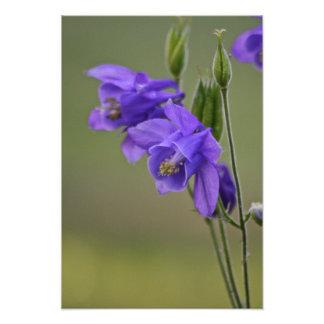 Columbine-Blumen Kunst Fotos