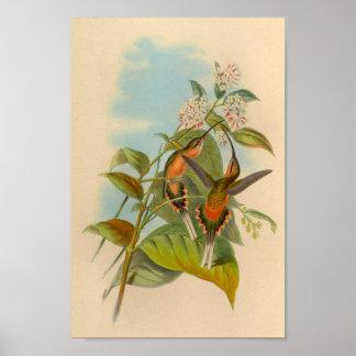 Copie 1861 de colibri d'ermite de cru poster