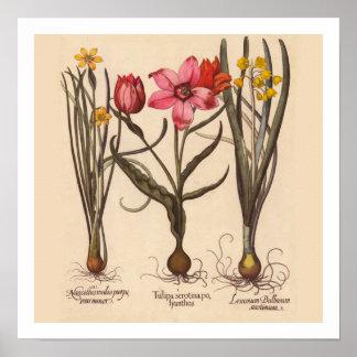 Copie botanique de narcisse poster