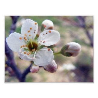 Copie de fleur de prune photo sur toile