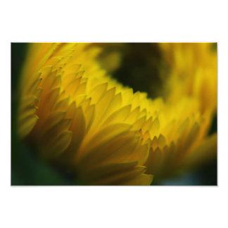 Copie jaune de photo de fleur de Calendula