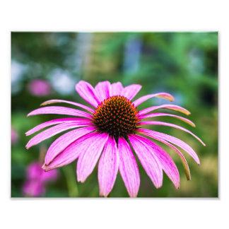 Copie pourpre de fleur de cône photographe