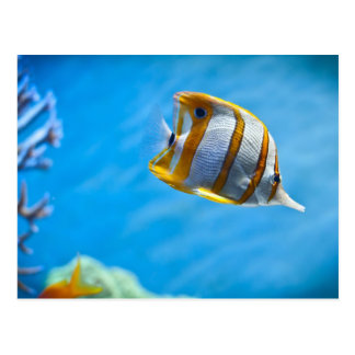 Copperband Butterflyfish Postkarte