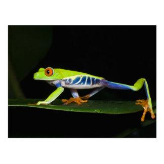 Costa Rica, Rot-mit Augen Baum-Frosch (Agalychnis Postkarte
