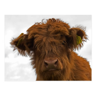 Cute highland baby cow portrait postcard postkarte