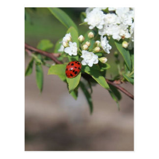 Dame Bug und weiße Blumen Postkarte