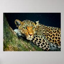 Das Anstarren eines Leoparden - Himmels-Druck Poster