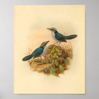 Das Todopsis des Graus Zaunkönig-blauer Poster