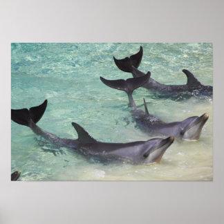 Dauphins, monde de mer, la Gold Coast, Queensland, Poster