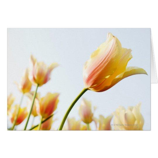 den Tulpen oben betrachten, die in einem Garten Karte