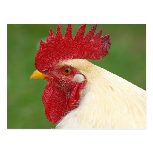 Der Kamm-Land-Hahn-Geschenke des roten Hahns Postkarte