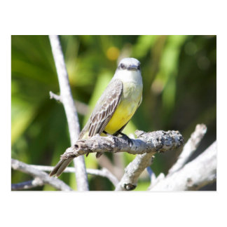 Der Kingbird der Couch des Yucatan Postkarte