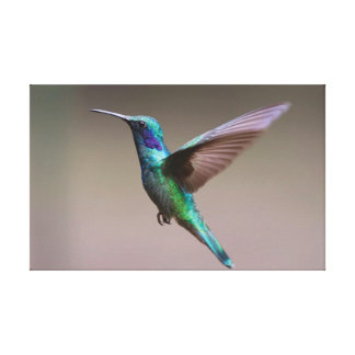 Der Kolibri Leinwanddruck