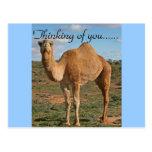 Destin Zazzle de désert de chameau pensant à vous Cartes Postales