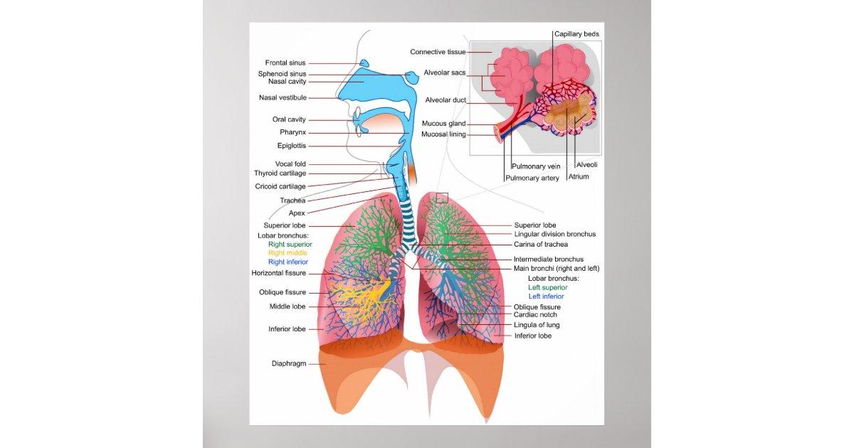 Fantastisch Anatomie Des Atmungssystems Zeitgenössisch - Anatomie ...