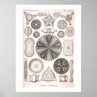 Diatomee-Vintage Illustration Poster
