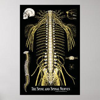 Die Dorn-und spinale Nerven-Chiropraktik Poster