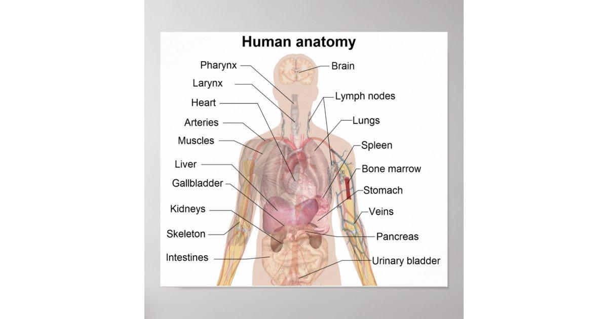 Erfreut Menschliche Anatomie Der Organe Bilder - Anatomie Von ...