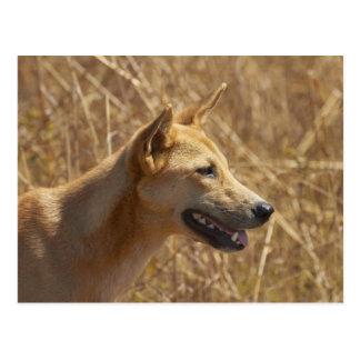 Dingo (Canis Lupus Dingo) Postkarte