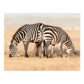 EbenenZebra oder gemeiner Zebra (EquusQuagga) 2 Postkarte