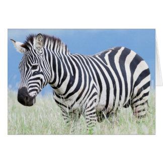 EbenenZebra oder gemeiner Zebra (EquusQuagga) Grußkarte