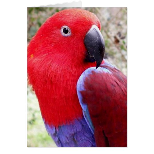 Eclectus Papagei Grußkarte