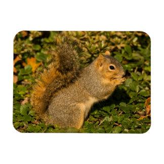 Écureuil gris, mangeant, arachide, Crystal Springs Magnets Rectangulaire