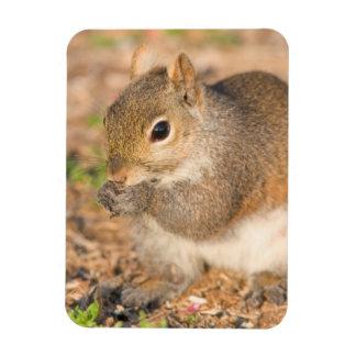 Écureuil gris mangeant des graines magnet en rectangle