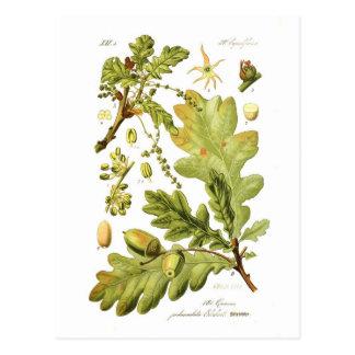 Eiche pedunculata (englische Eiche) Postkarten