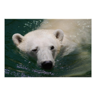 Ein gerade kühlender Eisbär Poster