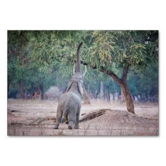 Elefant, der für Akazienbaum erreicht Karte