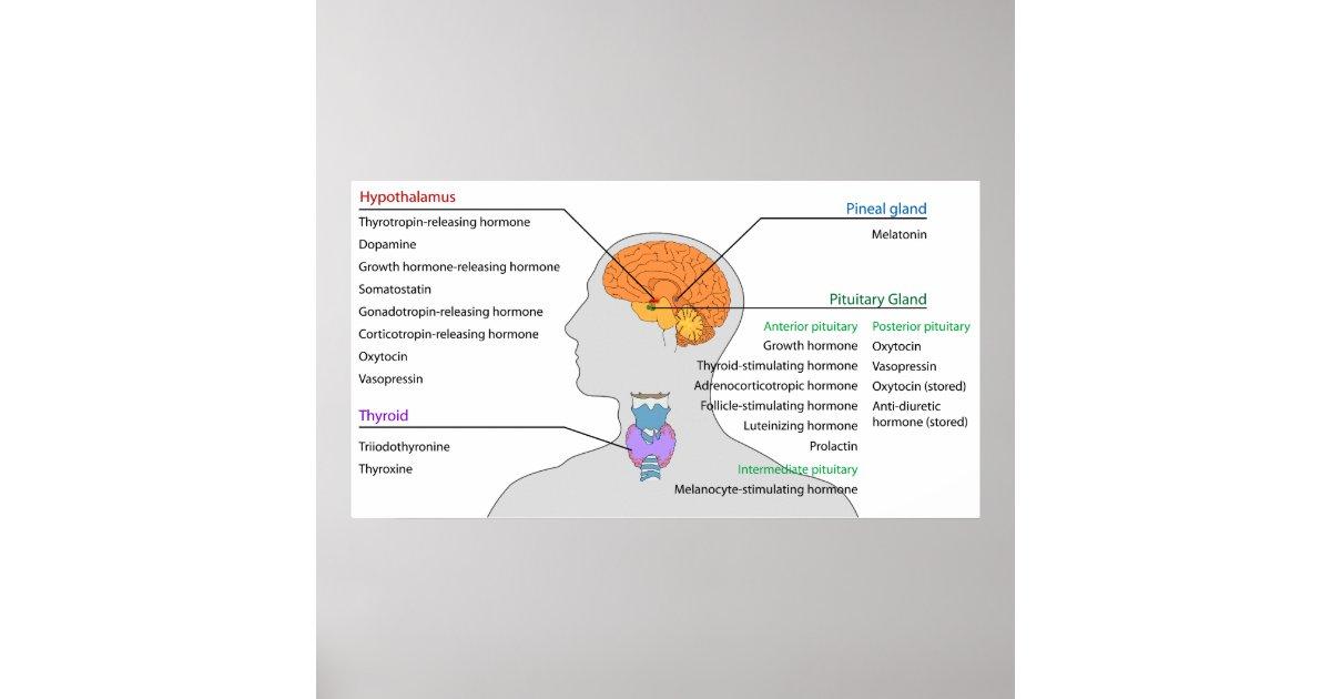 Endokrine Drüsen u. Hormone des Kopfes und des Poster   Zazzle.ch