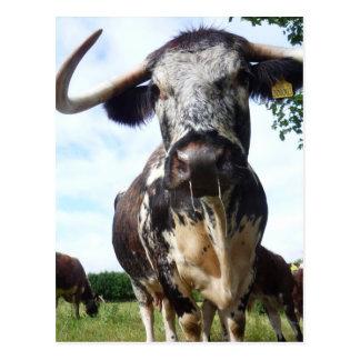Englisch-Longhorn-Vieh-Kuh-Postkarte Postkarte