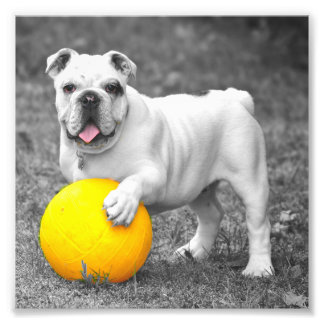 Englische Bulldogge weiß und der gelbe Ball Kunst Photo