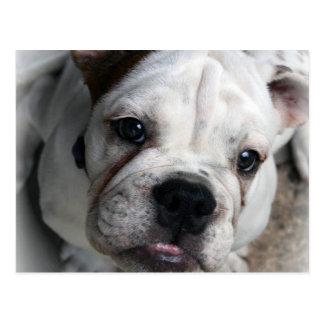 Englische Bulldoggen-Postkarte Postkarte