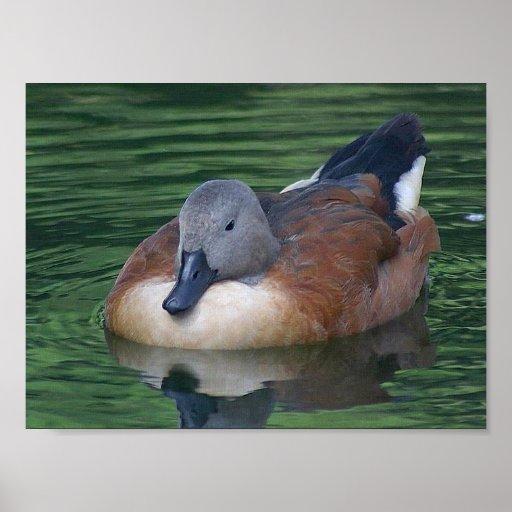 Ente auf Wasser-Leinwanddruck Plakate