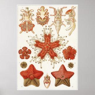 Ernst Haeckel-Kunst-Druck: Asteridea Poster