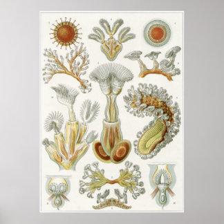 Ernst Haeckel-Kunst-Druck: Bryozoa Poster