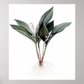 Erstklassiger botanischer Druck des Maiglöckchens Poster