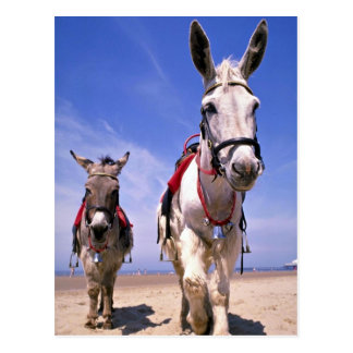 Esel, Blackpool-Strand, England Postkarte