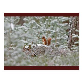 Europäisches rotes Eichhörnchen Postkarte