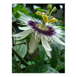 Exotische tropische Passionsfrucht-Blume Postkarte