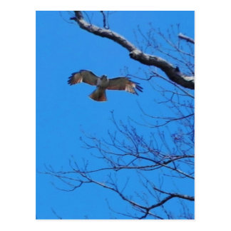 Falke im Flug Postkarte