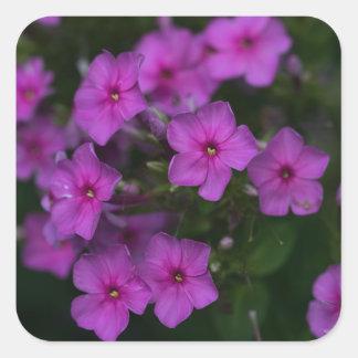 Fallphlox-Rosa-Wildblume-quadratische mit Quadratischer Aufkleber
